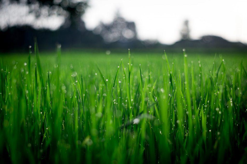 Herbe fraîche humide dans un jardin